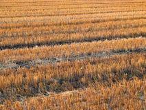 Bello raccolto-campo (100%) immagini stock libere da diritti