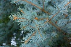 Bello ramo attillato blu immagini stock
