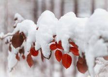 Bello ramo coperto di neve Fotografia Stock