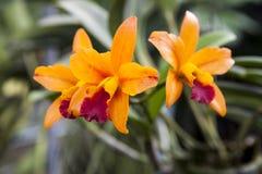 Bello ramo dei fiori arancio delle orchidee Giardino Tailandia Phuket dell'orchidea Immagini Stock Libere da Diritti