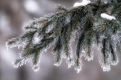 Bello ramo del pino in brina nel giorno gelido Fotografie Stock Libere da Diritti