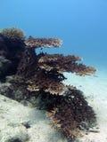 Bello ramo di corallo Fotografia Stock Libera da Diritti