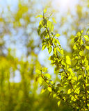 Bello ramo di un pioppo su un fondo vago Fotografie Stock