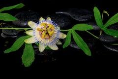 Bello ramo di verde della passiflora con il fiore sulle pietre di zen Fotografia Stock