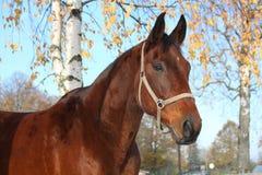 Bello ritratto del cavallo di baia in autunno Immagine Stock Libera da Diritti