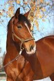 Bello ritratto del cavallo di baia in autunno Fotografia Stock