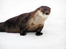 Bello ritratto della lontra di fiume immagini stock libere da diritti