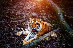 Bello ritratto della tigre dell'Amur fotografia stock