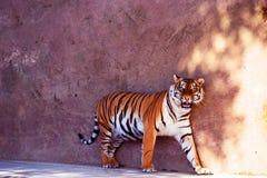 Bello ritratto della tigre dell'Amur Animale pericoloso immagine stock libera da diritti