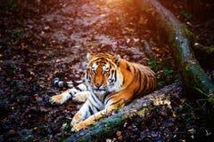 Bello ritratto della tigre dell'Amur immagine stock libera da diritti