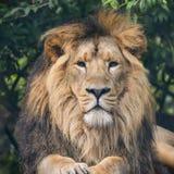 Bello ritratto di Lion Panthera Leo Persica asiatico Fotografia Stock Libera da Diritti