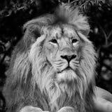 Bello ritratto di Lion Panthera Leo Persica asiatico nel nero Fotografie Stock Libere da Diritti