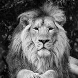Bello ritratto di Lion Panthera Leo Persica asiatico nel nero Fotografia Stock Libera da Diritti