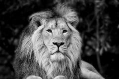 Bello ritratto di Lion Panthera Leo Persica asiatico nel nero Immagini Stock Libere da Diritti