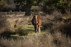 Bello ritratto di nuovo cavallino della foresta in landsca del terreno boscoso di autunno immagini stock