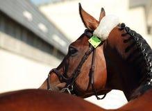 Bello ritratto di razza del cavallo di dressage Fotografia Stock