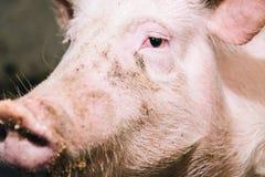 Bello ritratto di un maiale rosa in un porcile Fotografia Stock