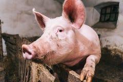 Bello ritratto di un maiale rosa in un porcile Fotografia Stock Libera da Diritti
