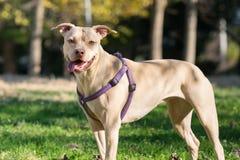 Bello ritratto di un terrier di Staffordshire americano fotografia stock libera da diritti