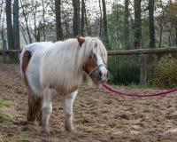 Bello ritratto di una condizione del cavallo fuori fotografie stock libere da diritti