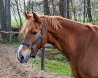 Bello ritratto di una condizione del cavallo fuori immagine stock