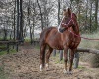 Bello ritratto di una condizione del cavallo fuori fotografie stock