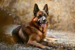 Bello ritratto esteriore del cane da pastore tedesco maschio all'aperto fotografie stock