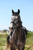Bello ritratto grigio scuro del cavallo di sport Fotografia Stock