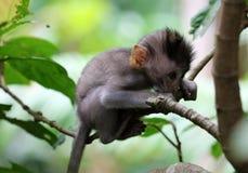 Bello ritratto unico della scimmia del bambino alla foresta delle scimmie in Bali Indonesia, animale selvatico grazioso Fotografie Stock