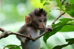 Bello ritratto unico della scimmia del bambino alla foresta delle scimmie in Bali Indonesia, animale selvatico grazioso fotografie stock libere da diritti