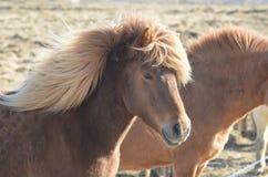 Bello Roan Icelandic Horse con una criniera bionda Fotografia Stock