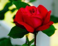 Bello rosa immagini stock
