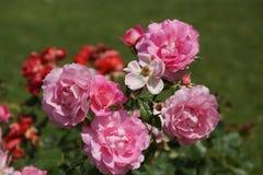 Bello rosaio con le rose rosa scure Fotografie Stock Libere da Diritti