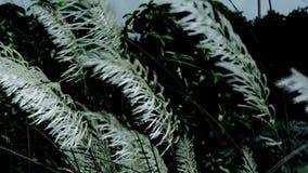 Bello saccharum spontaneum bianco della pianta del fiore dell'erba del kash di Kans che soffia nel vento, fondo del cielo blu Pro stock footage