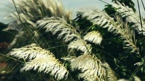 Bello saccharum spontaneum bianco della pianta del fiore dell'erba del kash di Kans che soffia nel vento, fondo del cielo blu Pro video d archivio