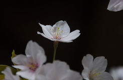 Bello Sakura Immagini Stock