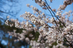 Bello Sakura nel Canada fotografie stock libere da diritti