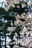 Bello Sakura nel Canada fotografia stock libera da diritti