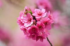 Bello Sakura rosa nell'inverno fotografie stock