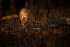 Bello sciacallo dorato nella luce morbida piacevole in India fotografie stock libere da diritti