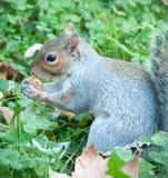 Bello scoiattolo con il suo alimento Fotografie Stock
