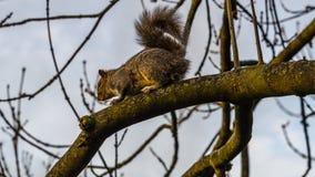 Bello scoiattolo grigio su un ramo di albero fotografia stock