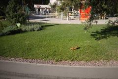 Bello scoiattolo in un parco nella distanza immagini stock
