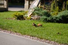 Bello scoiattolo in un parco nella distanza fotografia stock libera da diritti