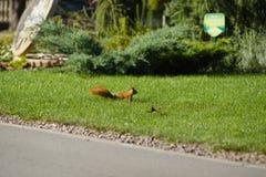 Bello scoiattolo in un parco nella distanza immagine stock libera da diritti