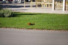Bello scoiattolo in un parco nella distanza fotografie stock libere da diritti