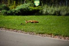 Bello scoiattolo in un parco nella distanza fotografia stock