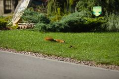 Bello scoiattolo in un parco nella distanza immagine stock