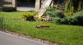 Bello scoiattolo in un parco nella distanza immagini stock libere da diritti