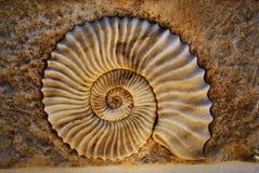 Bello seashell Immagini Stock Libere da Diritti